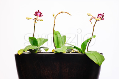 Three orchid plants pot new flower Stock Photo