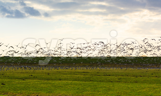 Goose flying away sunset Stock Photo