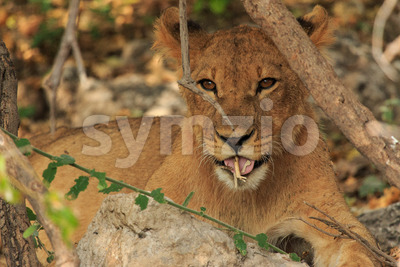 Cute lion cub playing with stick Stock Photo