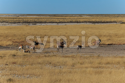 Group gemsbok or gemsbuck oryx and impala Stock Photo