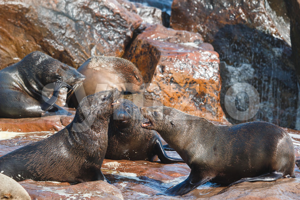 Cape fur seals fighting Stock Photo