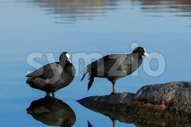 Eurasian coot on shallow water of lake Italy, Europe