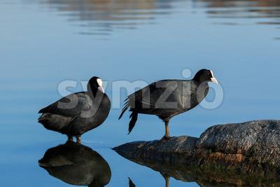 Eurasian coot shallow water lake Stock Photo