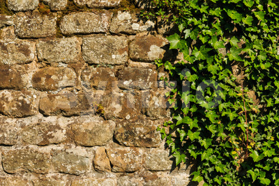 Rough wall with hedera plant Stock Photo