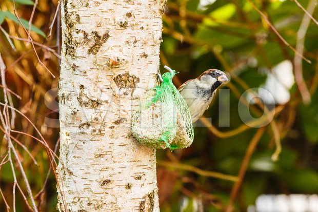 House sparrow feeding fat ball Stock Photo