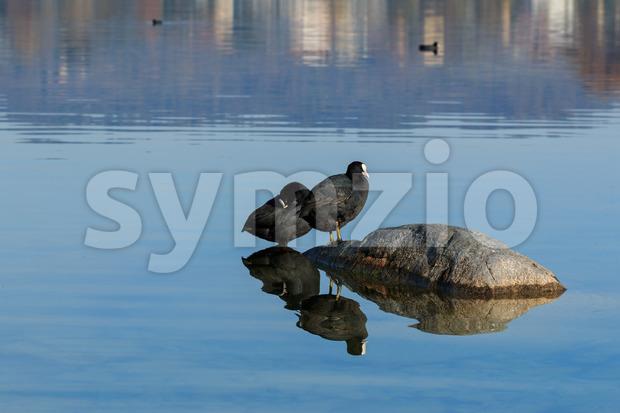 Eurasian coots on lake Stock Photo