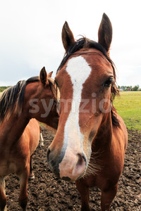 Brown horse looking forward Stock Photo
