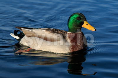 Duck floating in reflective water Stock Photo
