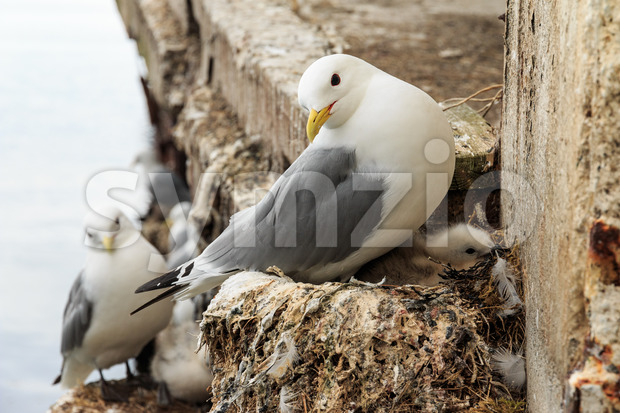 Seagull with young on nest Stock Photo