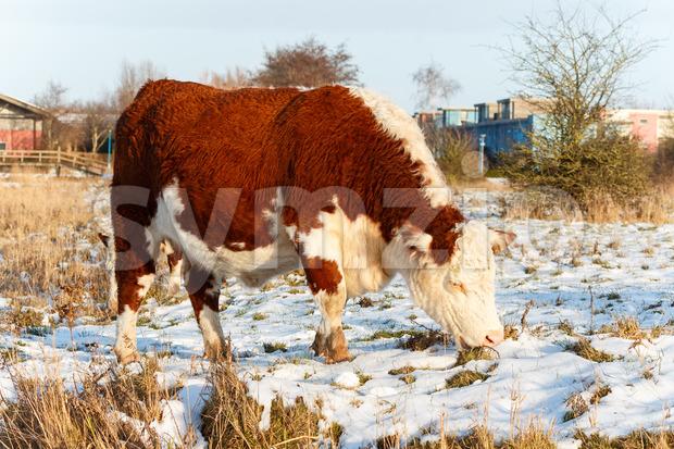 Scottish highland cattle grazing in park Stock Photo