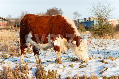 Scottish highland cattle grazing in park Stock Photo