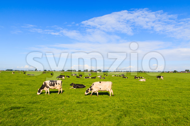 Cows grazing in farmers field in summer The Netherlands, Europe
