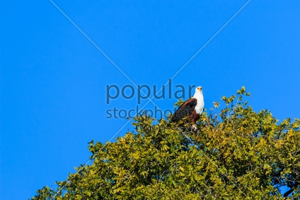 African fish eagle tree with leaves