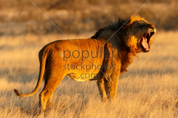Close-up lion male resting yawning after catch