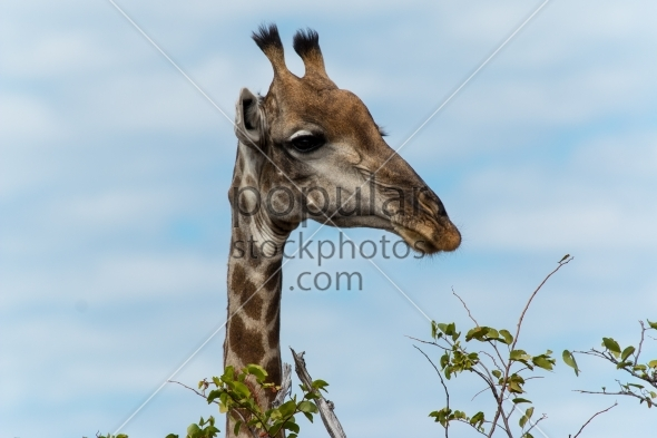 Giraffe going for leafs on tree
