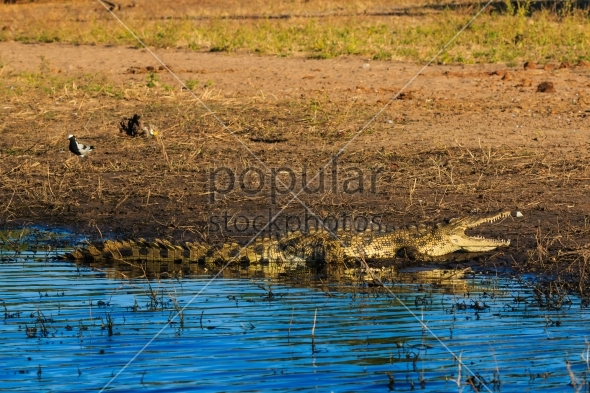 Crocodile resting and cooling riverfront Chobe Botswana Africa