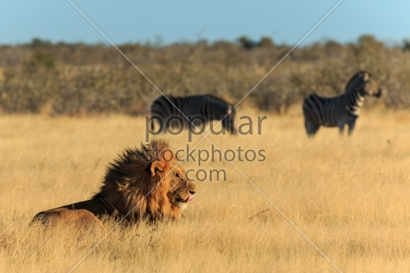 Lion licking his mouth, zebras background have no fear
