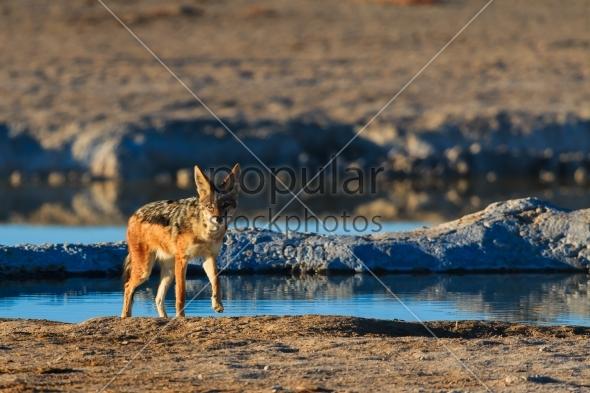 Black backed jackal leaving water hole