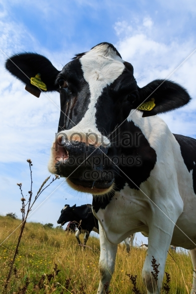 Curious dairy cow close up tilting head