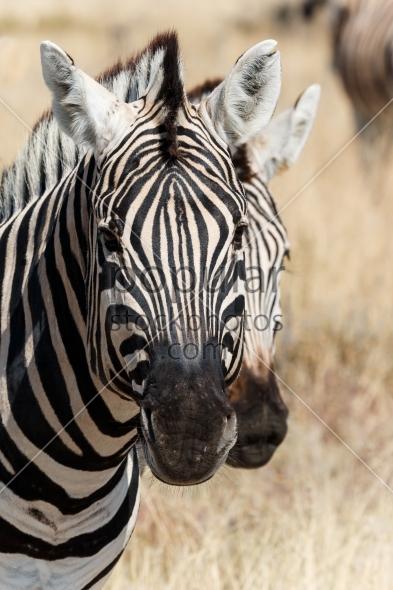 Two zebra heads