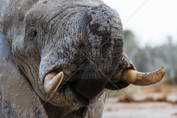 Elephant takes some water
