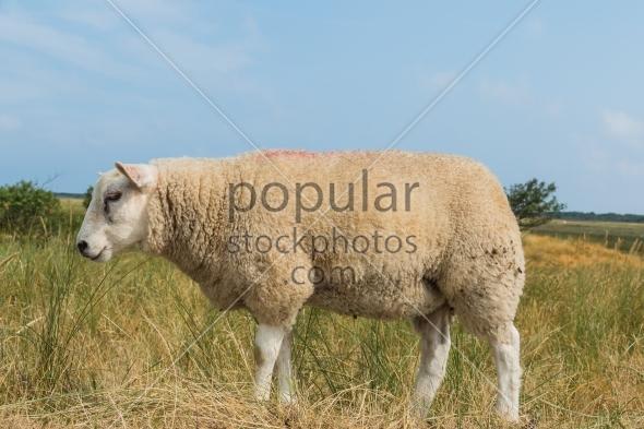 Sheep eating grass in summer