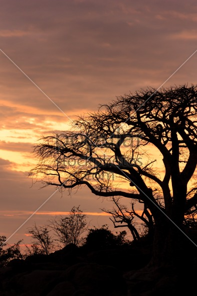 African baobab in a lovely evening sun