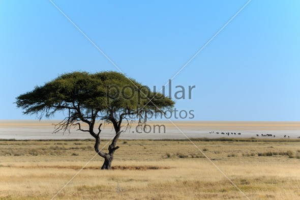 Tree and salt pan with wildebeest