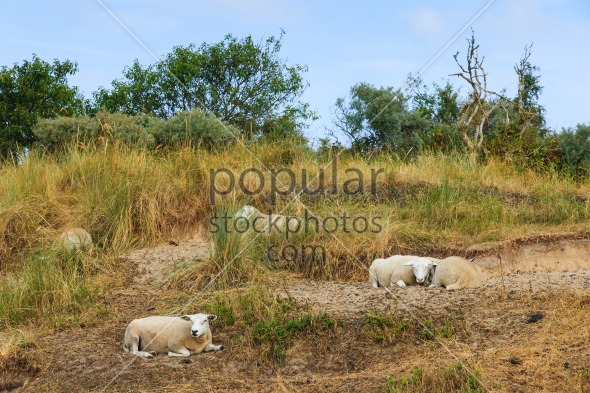 Sheep resting grass in summer